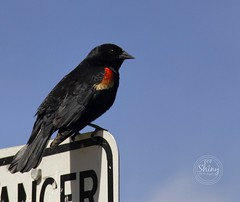 Red winged black bird posing on top of a sign. Taken on 5-25-19, at Josh's Pond in Broomfield, Colorado.  ~ ~ ~ ~ ~  #CanonRebelT5 #Canon #Rebel #T5 F/6.3 135mm 1/1250s ISO-200 #redwingedblackbird #JoshsPond #Broomfield #Colorado #oooShiny #oooShinyPhotog (oooshinyphotography) Tags: hashtagcolorado canonrebelt5 joshspond birdcaptures naturephotography coloradoshared broomfield coloradotography redwingedblackbird canon oooshiny birdphotography animalphotography colorado coloraodolove blackbird bird animals t5 rebel nature coloradocreative coloradophotography oooshinyphotography animalcaptures viewcolorado coloradophotographer animal coloradocollective