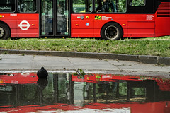 Bathing and bussing (PChamaeleoMH) Tags: london buses birds fauna reflections pigeons transport puddles clapham claphamcommon thepavement
