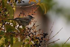 Sedentaria (lincerosso) Tags: uccelli birds passeriformi capinera sylviaatricapilla migratori giardino bellezza armonia