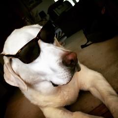 Joe Cool (PhotonPirate) Tags: joecool joe cool shades sunglasses lab labrador retriever yellow