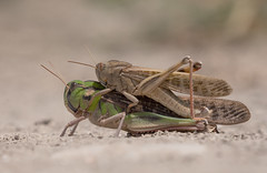 Grasshoppers_8007 (Peter Warne-Epping Forest) Tags: grasshoppers majorca mallorca peterwarne insects mating macro closeup