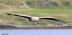 white tailed eagle J78A0188 (M0JRA) Tags: sea scotland mull isles sunset sky sun water birds clouds reflections boats holidays waves gulls deer land fields roads vacations eagles