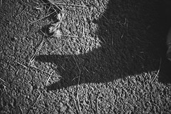 猫 (fumi*23) Tags: ilce7rm3 emount sony sel85f18 a7r3 animal shadow 85mm fe85mmf18 feline cat chat gato katze neko ねこ 猫 ソニー モノクロ bw monochrome blackandwhite