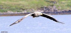 White Tailed Sea Eagle J78A0191 (M0JRA) Tags: scotland isles mull sea water waves boats reflections land birds holidays vacations sky clouds sunset sun deer fields roads gulls eagles