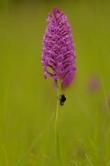 Orchis pyramidal (jpto_55) Tags: fleur orchis pyramidal orchispyramidal proxi bokeh fuji fujifilm xt20 hautegaronne france