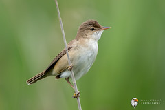 Reed Warbler (Simon Stobart) Tags: reed warbler acrocephalus scirpaceus perched north east england uk