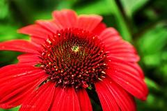Front garden. #Takoma #dc #dclife #washingtondc #canon #rebelxs #realcamera #Canon #EFS60mm #macro  #flower #flowersofinstagram (Kindle Girl) Tags: realcamera takoma dc dclife washingtondc canon rebelxs efs60mm macro flower flowersofinstagram