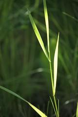 catching the light (EllaH52) Tags: grass green summer bokeh macro sun sunlight shadows minimalism simplicity nature