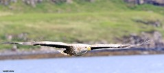 White Tailed Sea Eagle J78A0190 (M0JRA) Tags: scotland isles mull sea water waves boats reflections land birds holidays vacations sky clouds sunset sun deer fields roads gulls eagles