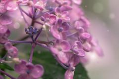 Beautiful rain (Tomo M) Tags: hydrangea rain rainyseason bokeh flower nature 高幡不動尊 紫陽花 ajisai raindrop