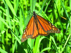 IMG_7203 6-15-2019 (PGK88) Tags: monarch butterfly monarchbutterfly insect animal wildlife green orange grass outdoors nature closeup 2019 beautiful sunlight