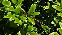 Pyrrhosoma nymphula (Large Red Damselfly) (Bruce Hurst aka Zincfreud) Tags: dragonflies damselflies odonta anisoptera zygoptera anisozyoptera