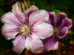 Clematis (brianjdavies) Tags: gardenflowers gardening pinkflower clematis