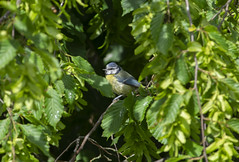 Blue Tit (Scozmo's Photery) Tags: birds wildlife nature garden blue tit rspbcymru