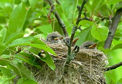 A nest of baby yellow warblers (Eat With Your Eyez) Tags: nest baby babies bird birds three yellow warbler feather down downy eye eyes beak beaks tree green park nature preserve bath ohio summit county panasonic fz1000 animal outdoors spring grow growing