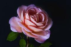 Pink Rose (brianjdavies) Tags: gardenflowers gardening pinkflower pinkrose rose macro canonefs60mmf28macrousm