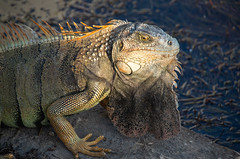 Keys Iguana (subrec) Tags: pentax florida floridakeys floridasunset pentaxart pentaxk50 iguana animal