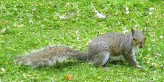 Burton upon Trent Memorial garden: Grey squirrel (Diego Sideburns) Tags: burtonupontrent burtonontrent greysquirrel memorialgarden
