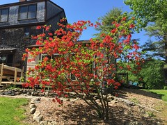 Revelations of Red ~ in SunLight (77ahavah77) Tags: blooms spring maine outside landscape tree