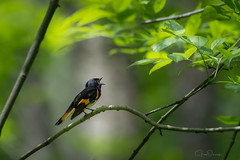 Calling to the light (greg obierek) Tags: americanredstart setophagaruticilla redstart warbler bird avian wildlife whiteclaycreekstatepark delaware nikon
