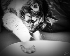 La crevette. (LACPIXEL) Tags: chat gato cat pet animal mascota sony alpha crevette voler camarón gamba robar shrimp steal noiretblanc blancoynegro blackandwhite moonlight flickr lacpixel