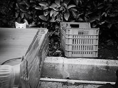 6201 - Peekaboo (Diego Rosato) Tags: peekaboo gioco cucù gatto cat kitten pet animale animal stray randagio giardino garden fuji x30 rawtherapee bianconero blackwhite