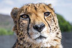 Sithle quite close (Tambako the Jaguar) Tags: cheetah big wild cat close portrait face male looking closeup lionsafaripark johannesburg southafrica nikon d850
