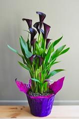 Merci Tom ;) (Jeannette Greaves) Tags: 2019 cmwdpinkpurple flowering callalily