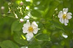 _DSC8015 (Markoliini) Tags: natur luonto nikon d7200 2470 nature blomma