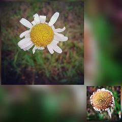 Passagères du printemps (melina1965) Tags: bourgogne burgondy saôneetloire 2019 saintvallier printemps spring juin june fleur fleurs flower flowers