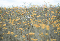 Sunny meadow (V Photography and Art) Tags: meadow yellow flowers spring wild