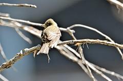 Flycatcher- Eastern Wood-Pewee, Minnesota, Hennepin County- Minneapolis, North Mississippi Regional Park (EC Leatherberry) Tags: bird wildlife minnesota minneapolisminnesota hennepincounty flycatcher contopusvirens easternwoodpewee