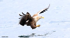 White Tailed Sea Eagle J78A0198 (M0JRA) Tags: scotland isles mull sea water waves boats reflections land birds holidays vacations sky clouds sunset sun deer fields roads gulls eagles
