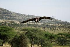 Tansania 04 (bernti_brot) Tags: tansania afrika safari geier marabu ngorongoro caldera serengeti wildlife ngc