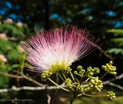 Silk Tree Bloom in Virginia (Constantine L.) Tags: flower bloom tree virginia