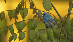 Indigo Bunting..... (Kevin Povenz Thanks for all the views and comments) Tags: 2019 june kevinpovenz westmichigan michigan ottawa ottawacounty ottawacountyparks outdoors outside bird songbird blue indigobunting canon7dmarkii sigma150600 nature wildlife green yellow
