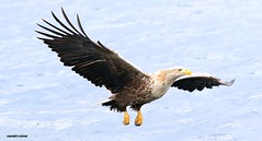 White Tailed Sea Eagle J78A0195 (M0JRA) Tags: scotland isles mull sea water waves boats reflections land birds holidays vacations sky clouds sunset sun deer fields roads gulls eagles