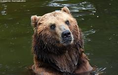 Kamchatka bear - Tierpark Hagenbeck (Mandenno photography) Tags: animal animals dierenpark dierentuin dieren duitsland germany bear kamchatka ngc nature natgeo natgeographic zoo tierpark hagenbeck