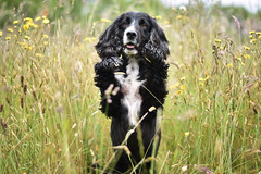 DSC_0572 (emagreenshields) Tags: bordercollie bordercollies border spring wocker summer cocker wockers cockers cockerspaniel photography dogphotography caninephotography nikon nikond3400 collie collies spaniel dogs dog dogwalk field f18