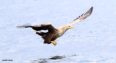 White Tailed Sea Eagle J78A0197 (M0JRA) Tags: scotland isles mull sea water waves boats reflections land birds holidays vacations sky clouds sunset sun deer fields roads gulls eagles