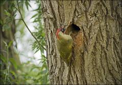Green Woodpecker (Craig 2112) Tags: green woodpecker picusviridis male tree hole nest wild bird lincolnshire