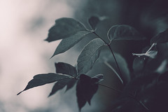 Secrets of nature (Grocci) Tags: nature plant tree leaf macro blur water blueberry
