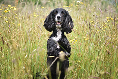 DSC_0566 (emagreenshields) Tags: bordercollie bordercollies border spring wocker summer cocker wockers cockers cockerspaniel photography dogphotography caninephotography nikon nikond3400 collie collies spaniel dogs dog dogwalk field f18