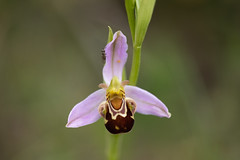 Bee Orchid (Les Kinder) Tags: beeorchid ophrysapifera orchids orchid britishwildflowers britishnature wildflowers