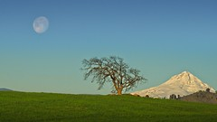 Moonset at Sunrise Mt Hood Lone Tree 4248 A (jim.choate59) Tags: jchoate on1pics lonetree moon moonset mountain mounthood thedallesoregon landscape morning goldenhour magichour minimalism minimalistlandscape scenic rural d610