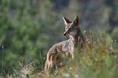 Wary eye (Marc Briggs) Tags: dsc52391bw coyote canislatrans canine canid animal mammal songdog eyecontact nature wildlife wild