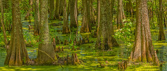Cypress Swamp 2019-06 01 Panorama B (Jim Dollar) Tags: swamp cypressswamp jimdollar cypresstrees santeenationalwildliferefuge summerton southcarolina canon5div