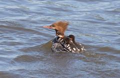 Riding with Mom (vischerferry) Tags: commonmerganser merganser duck fledglings mergusmerganser mohawkriver