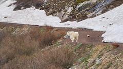 Mountain Goat (matt.sellars) Tags: colorado blueriver travel photography continentaldivide