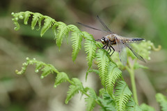 Four Spotted Chaser (Hugobian) Tags: four spotted chaser dragonfly insect nature wildlife animal fern flora fauna pentax k1 hertford heath reserve herts middx trust